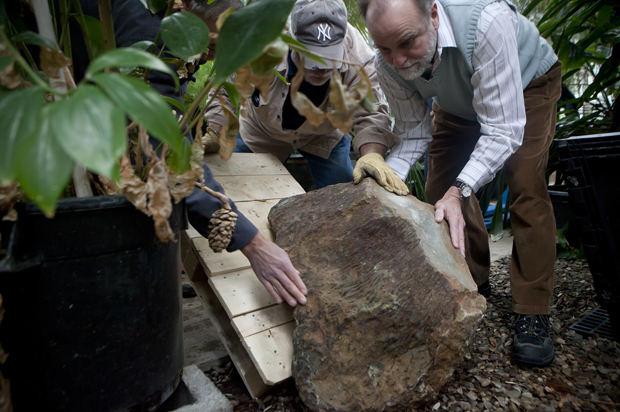 William Stein, right, associate professor of biological sciences, helps place two Eospermatopteris fossils, genus of plants known from fossil stumps discovered in the 1870s near Gilboa, N.Y., at the E.W. Heier Teaching and Research Greenhouse at Science 3. Stein believes the fossils are between 370- to 380-million years old.