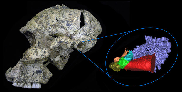 A lateral view of the Paranthropus robustus skull SK 46 from the site of Swartkrans, South Africa, shows the 3D virtual reconstruction of the ear or the early hominins.
