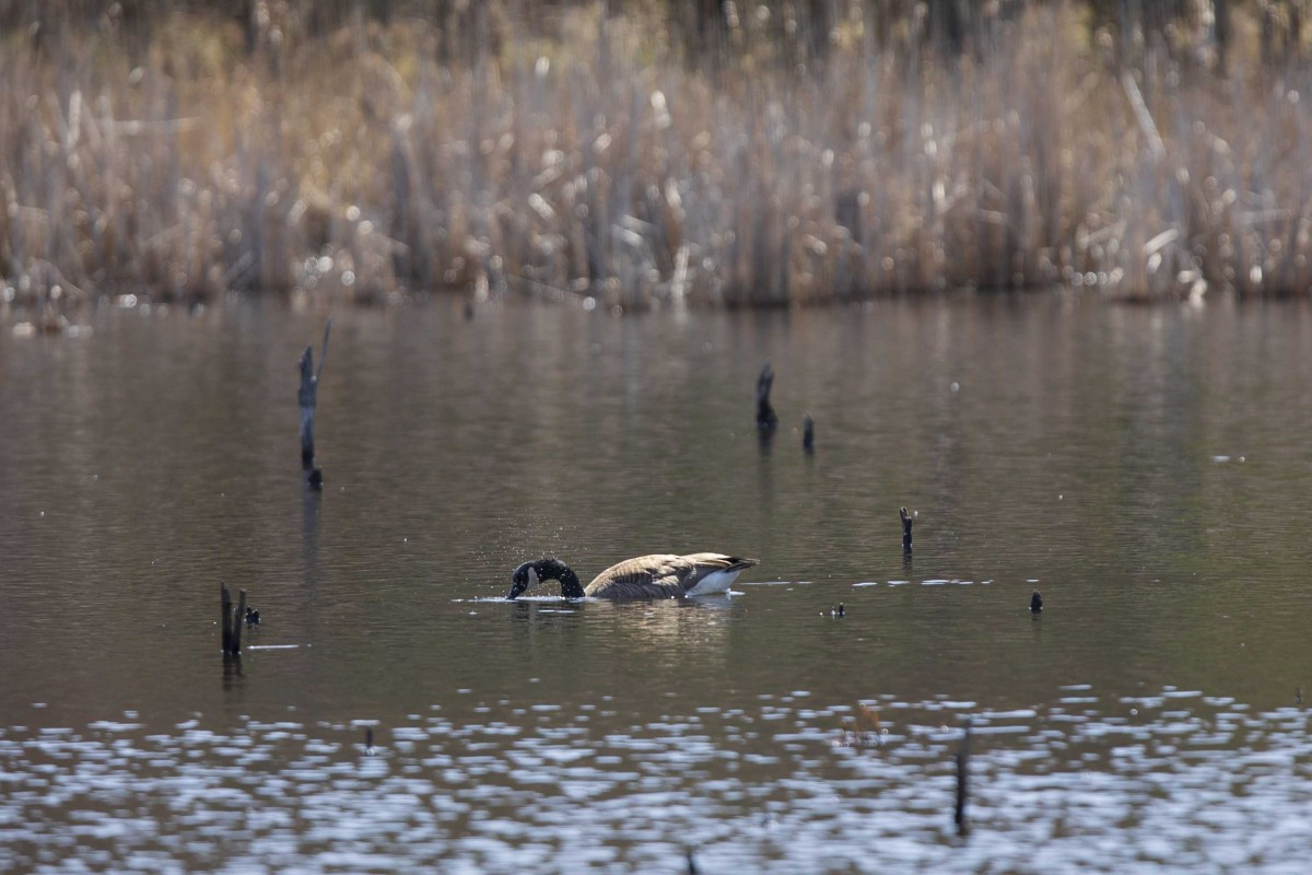 A goose swims in the Binghamton University Nature Preserve on April 17, 2020.