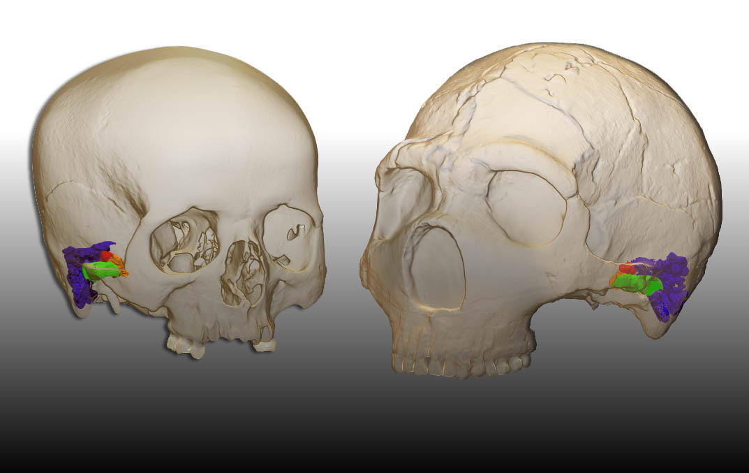 3D model and virtual reconstruction of the ear in a modern human (left) and the Amud 1 Neandertal (right)