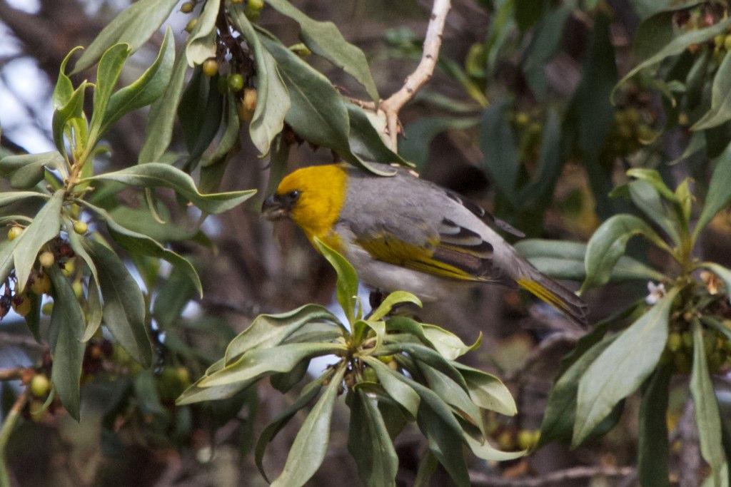 A Palila bird on a branch in Hawaii.